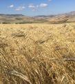 Il grano Khorasan in quattro puntate
