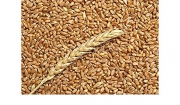 Maiorca wheat